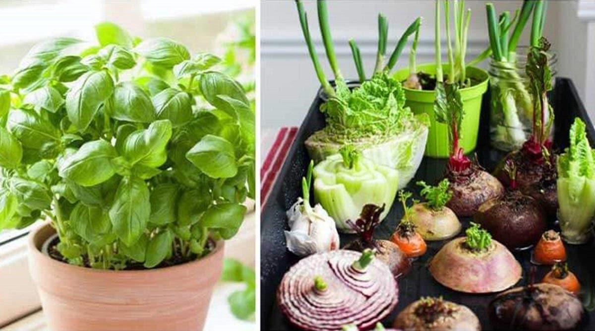 11 légumes et plantes que vous pouvez refaire pousser en utilisant des restes de nourriture