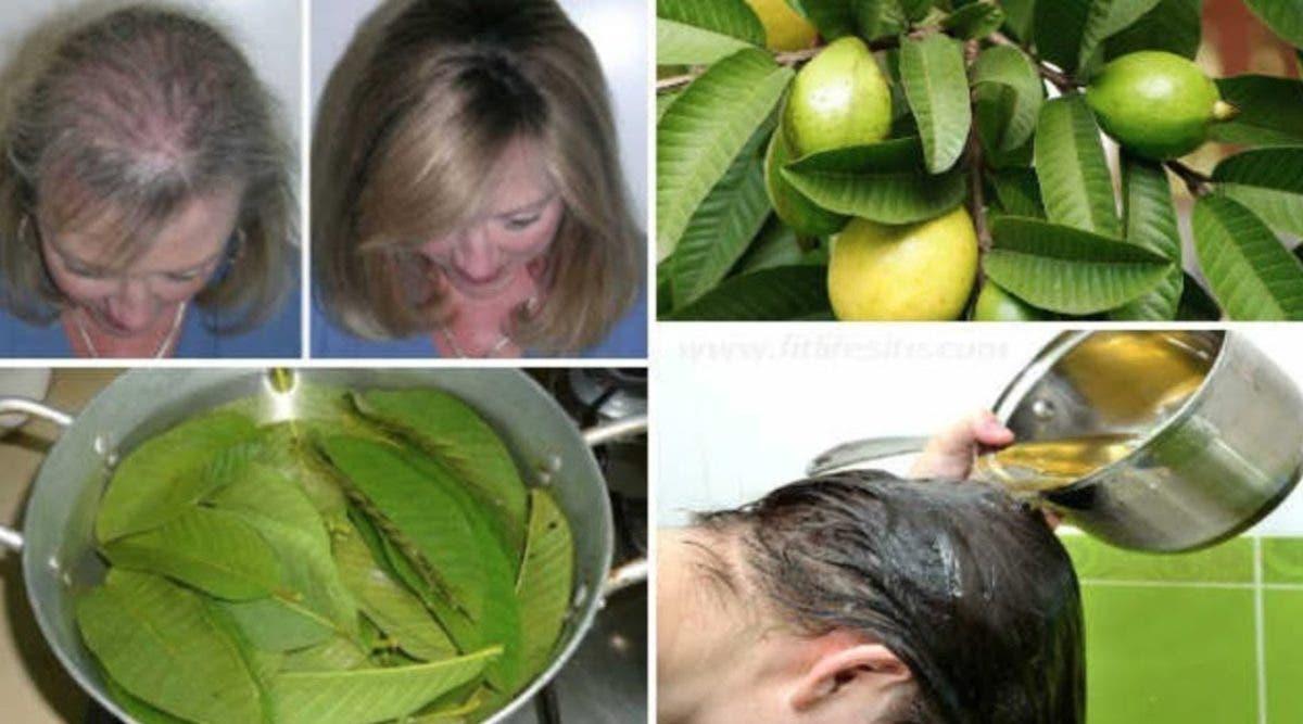 Les feuilles de goyave arrêtent la chute des cheveux et ajoutent du volume : voici la recette à faire à la maison