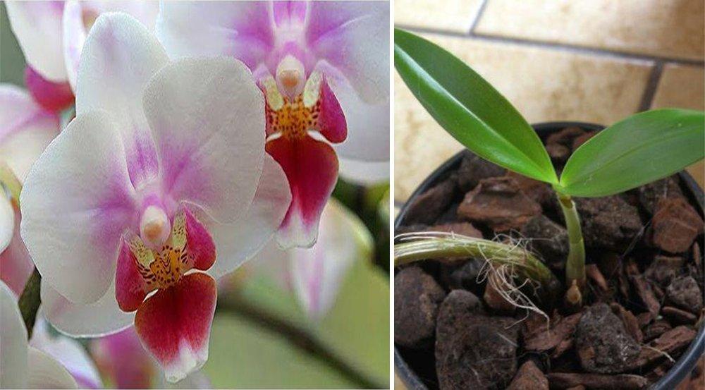 Voici tous les secrets qu'il faut connaitre pour faire refleurir une orchidée fanée!