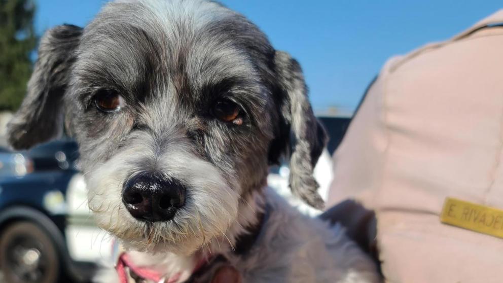 Cruauté animale: un chiot abandonné dans une voiture à 55 degrés