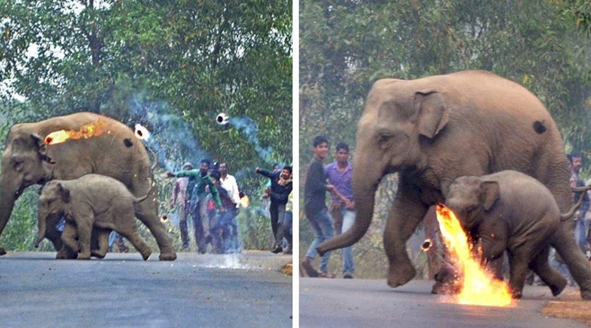 Une mère éléphant et son petit se font attaquer à coups de cocktail molotov alors qu'ils fuient la déforestation