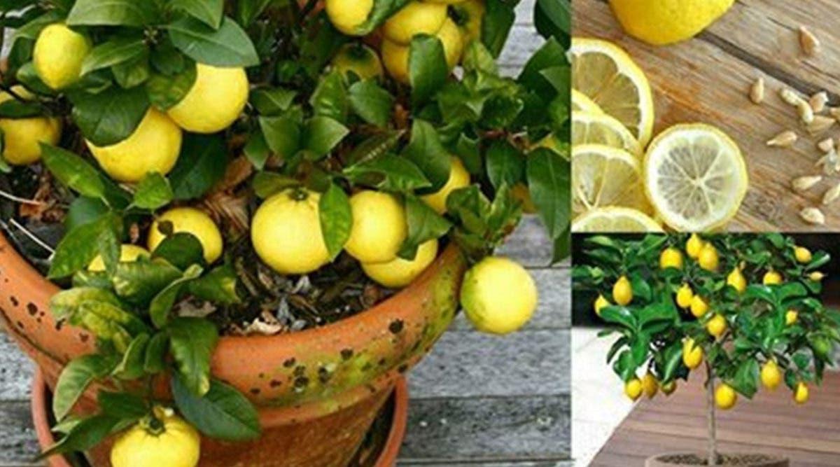 Apprenez à faire pousser du citron chez vous en 7 étapes faciles et économiques