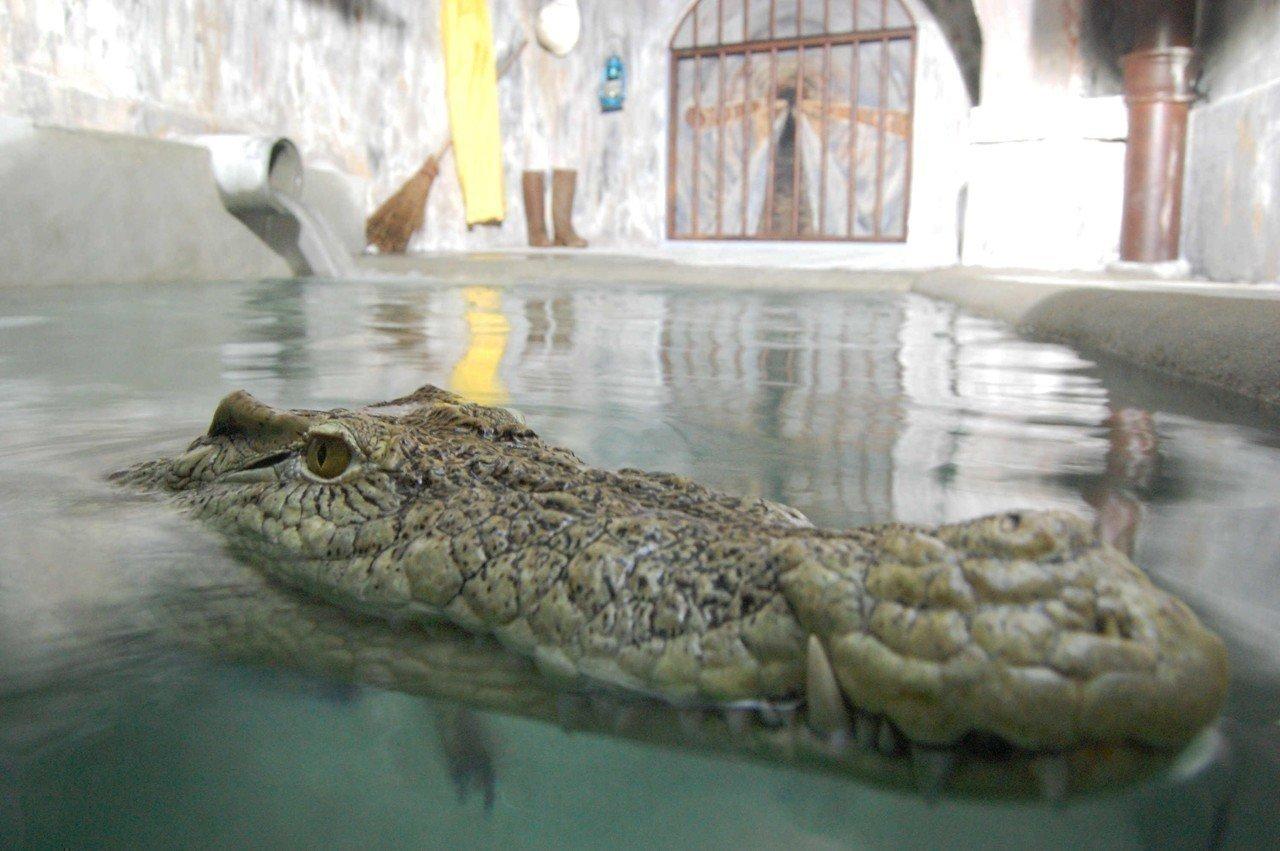 Quand un crocodile vivait dans les égouts de Paris